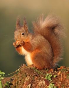 Red-Squirrel-mcallan-smaller-235x300