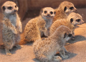 meercats_aug11