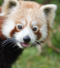 red_panda